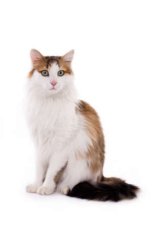 housecat: Longhaired housecat portrait against the white background