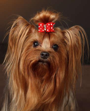 bow hair: Yorkshire Terrier, color canela, con arco de pelo rojo