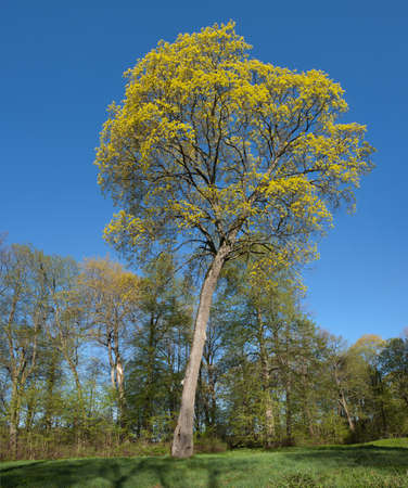 norway maple: Norway Maple (Acer platanoides) in Verkiai park, Lithuania