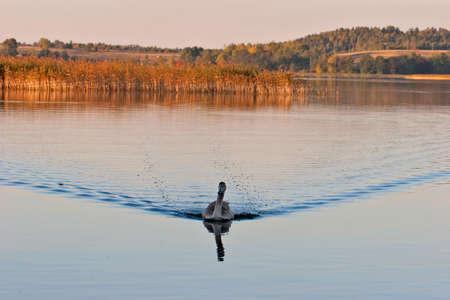 cygnus olor: Juvenile of mute swan (cygnus olor) swiming in the lake Galve, Lithuania