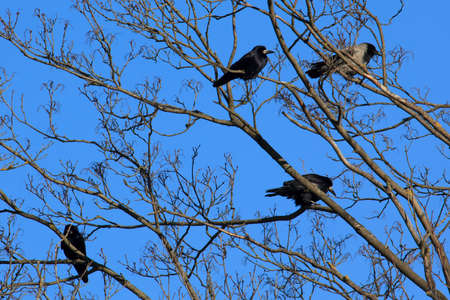 frugilegus: Hooded Crow (Corvus cornix) and three Rooks (Corvus frugilegus) sitting in the tree