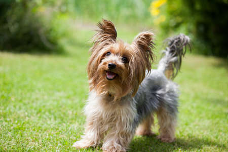 Yorkshire terrier playing in the park on the grass