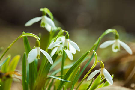 galanthus: Common snowdrop (Galanthus nivalis) in the spring