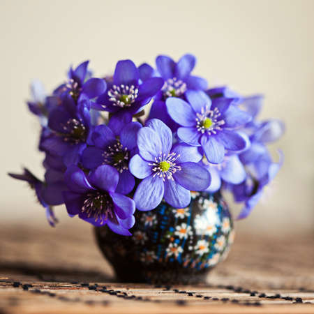 liverwort: Blue anemone hepatica in the tiny vase on the table