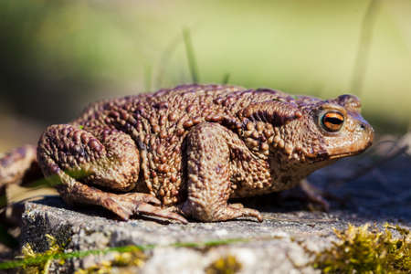 bufo toad: Common toad (Bufo bufo) in the spring garden