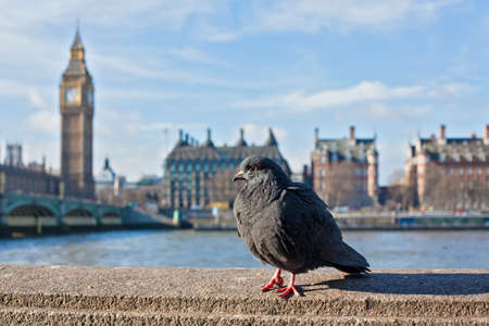 Pigeon sitting on the embankment of river Thames Stock Photo
