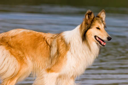 lassie: Rough Collie dog against the lake Stock Photo