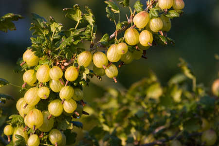 ribes: Gooseberry Ribes uvacrispa in the summer orchard Stock Photo