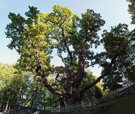 english oak: Stelmuze Oak, an English Pedunculate oak tree in Stelmuze village, Lithuania. It is the oldest oak in Lithuania and one of the oldest in Europe.