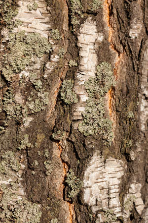 symbiotic: Closeup view of old birch tree silver bark texture overgrown with a lichen background Stock Photo