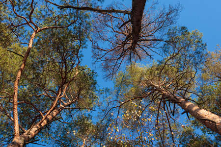 pine three: Three pine trees against blue sky in the autumn