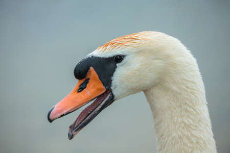 olor: Mute swan (Cygnus olor) in the lake Stock Photo
