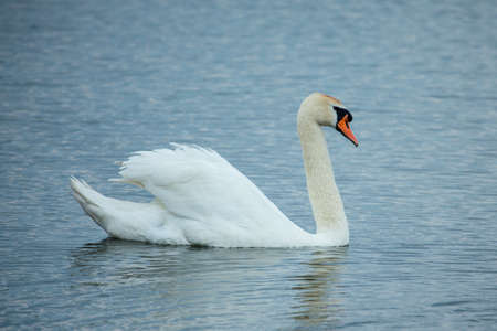 cygnus olor: Mute swan (Cygnus olor) in the lake Stock Photo