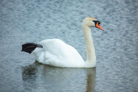mute swan: Mute swan (Cygnus olor) in the lake Stock Photo