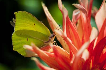 Common brimstone butterfly (Gonepteryx rhamni) Stock Photo