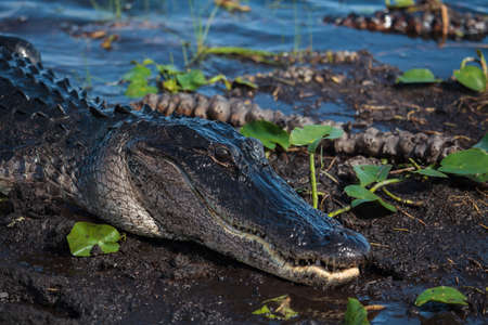 everglades: American alligator (A. mississippiensis) in the Everglades National Park, Florida, USA