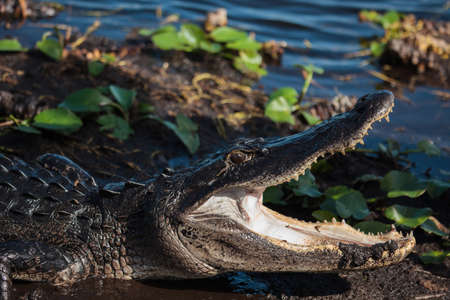American alligator (A. mississippiensis) in the Everglades National Park, Florida, USA