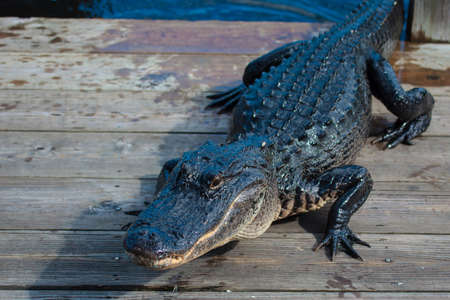 everglades national park: American alligator (A. mississippiensis) in the Everglades National Park, Florida, USA