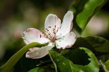 membrillo: El membrillo (Cydonia oblonga), que florece, un pequeño árbol de hoja caduca que lleva una fruta del pome