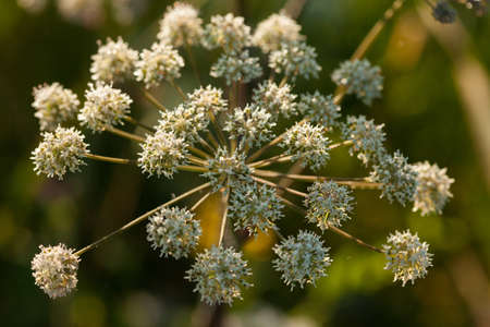 onshore: Wild angelica (Angelica sylvestris) plant in the summer onshore of some Lithuanian lake Stock Photo