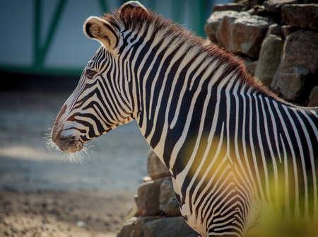 Grevys zebra (Equus grevyi) close up portrait in a zoo