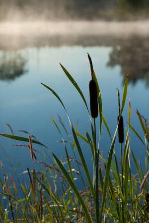 Bulrush (Typha latifolia) in the morning mist
