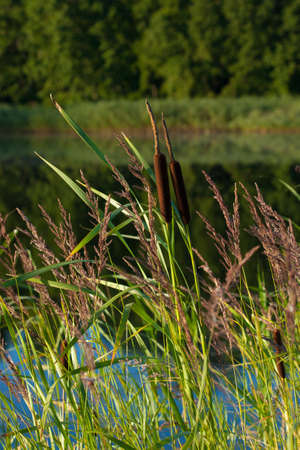 Bulrush (Typha latifolia) and reed plants near the lake in the morning Stock Photo - 82884667