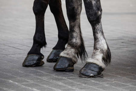 Horse legs with horseshoes on the pavement