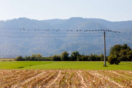 Birds sit on the electric power lines in some slovenian rural area