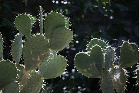 Opuntia, commonly called prickly pear, cactus plant on a sunny day Stock Photo