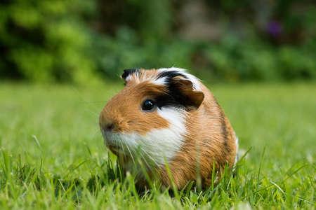 Guinea pig (Cavia porcellus) is a popular household pet.