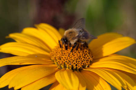 Doronicum grandiflorum flower head closeup with a bumblebee on it