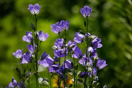 Harebell (Campanula rotundifolia) in the meadow Stock Photo