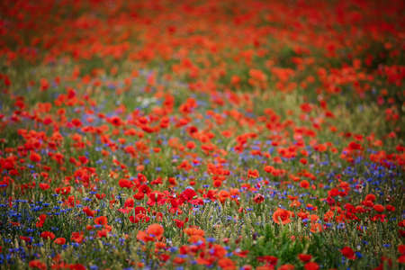 Corn poppies (Papaver rhoeas) and Cornflowers (Centaurea cyanus) are common agricultural weeds Stock Photo
