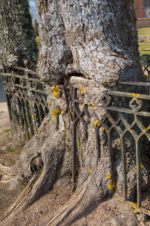 Tree with wrought metal fence grown in to the bark. Old tree growing through wrought iron fence. Fence rooted in the tree