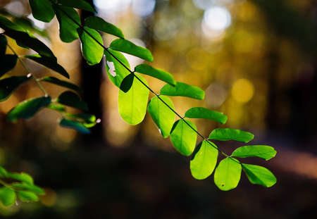 Green acacia tree leaves in the sun, autumn in Lithuania Stock Photo