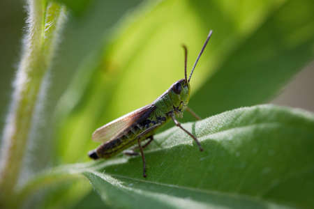Meadow grasshopper (Chorthippus parallelus) on a leaf