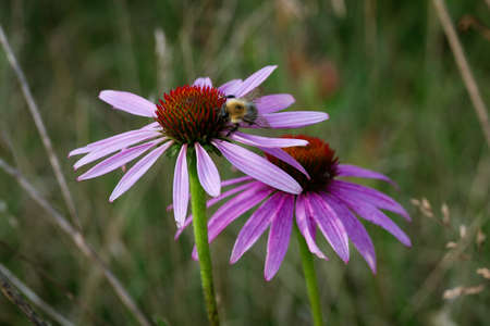 Eastern purple coneflower (Echinacea purpurea) with a bee Stock Photo