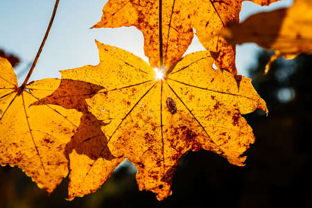 Orange maple tree leaves against the sun, autumn in Lithuania