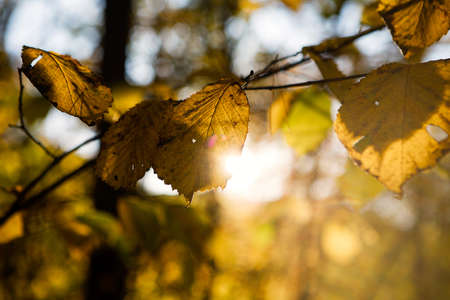 Yellow tree leaves against the sun, autumn in Lithuania