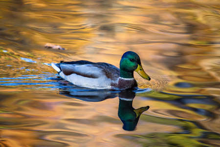 Male mallard or Wild Duck (Anas platyrhynchos) in the golden waves of lake in automn
