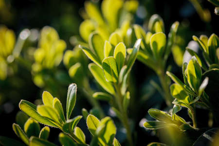 Green leaves of a shrub generously lit by the spring sun Stock Photo