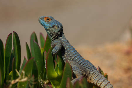 Closeup portrait of a lizard on the pigface flower leaves Stock Photo