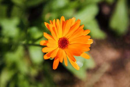 Pot marigold (Calendula officinalis) in the garden