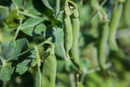 The pods of the green peas in the garden