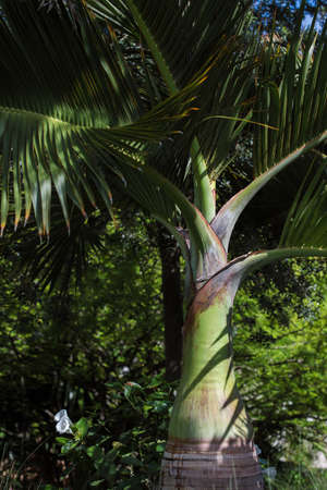 Tropical botanical garden with green palm tree