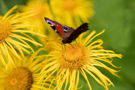 The European Peacock (Inachis io), or the Peacock butterfly on a yellow flower