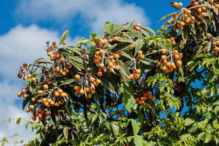 Loquat (Eriobotrya japonica) leaves and fruits
