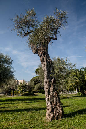 Very old olive tree in the park of Nice, France