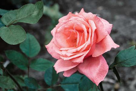 Pink rose in the garden, closeup with detailed petals 版權商用圖片